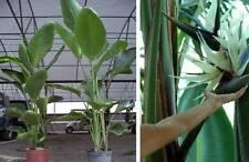 Weiße Strelitzie Blühpflanze Pflanze für das Haus Bad die Blumenampel den Balkon