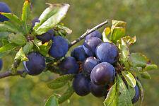 Prugnola/Prugnolo-Prunus Spinosa - 50 semi-Frutti di Bosco-Arbusto-FRUTTA