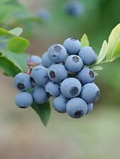 "Blueberry ""Primadonna"" High Bush live plant vaccinium"