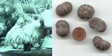 """Himalaya-Palme """"Caryota maxima"""" schnellwüchsige Hochgebirgspalme für den Garten"""