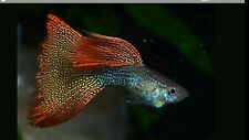 2 Pair ATFG Red yellow Lace Moscow Guppy