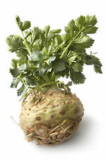 0.5g (~1500) celeriac seeds GIANT PRAGUE Turnip-rooted Celery juicy & fragarant