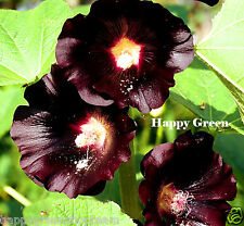 HOLLYHOCK BLACK - Althaea rosea nigra - 100 SEEDS