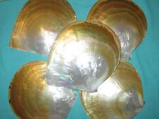große Muschel Gold Lip-perlmutt, 180mm lang- sehr schön!