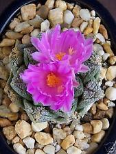 Ariocarpus fissuratus exotic living stone rock rare cactus cacti seed 10 SEEDS