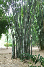15 Graines Bambou de Calcutta (Dendrocalamus strictus #55) Male Bamboo Seeds