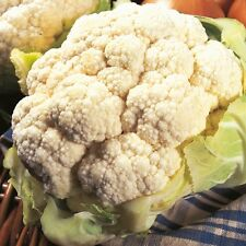 Kings Seeds - Cauliflower All The Year Round - 225 Seeds