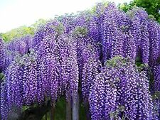 "BEAUTIFUL BLUE MOON WISTERIA VINE POTTED PLANT 8-12"" Tall"