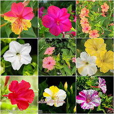 20 Pcs Mixed Four O' Clock(Mirabilis jalapa) Flower Seeds, Good Germination Rate
