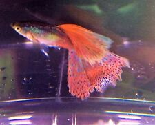 (6) Grass Guppy | Poecilia reticulata | Other Live Fish/Waterplants Availab
