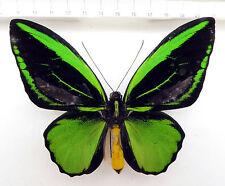 Ornithóptero Priamus ssp.??? Pulau Batanta, very rare, indonesia k1/8