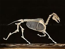 PHOTO VINTAGE ANATOMY MUYBRIDGE HORSE SKELETON DOWN TROTTING LARGE PRINT LF1043