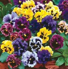 Pansy Frizzle Sizzle Mix 10 seeds  Garden Seeds 2u