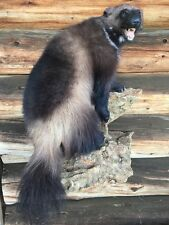 XXL WOLVERINE Taxidermy Mount Log cabin decor rustic natural furniture zoo skull