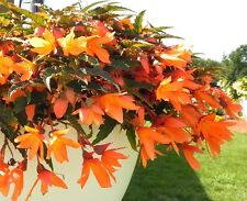 Begonia Seeds Bossa Nova Orange Trailing Begonia 15 Pelleted Seeds