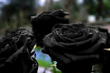 100 Black Rose Seeds Beautiful Fresh Rose Flower Seed For Your Lover