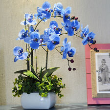 Orchid Bonsai Blue Butterfly plants flowers Beautiful Phalaenopsis 100 Seeds