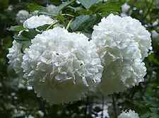 Japanese Snowball Bush - Healthy Bare Root Plant - White - 2 pack with Bonus