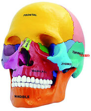 NEW 4D Puzzle Didactic Exploded Beauchene Skull Color Human 1:2 Anatomy 3D Model