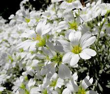SNOW IN SUMMER WHITE GROUND COVER Cerastium Tomentosum - 6,000 Bulk Seeds