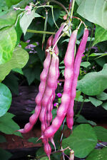 Bean Seed 15 Seed Purple Asparagus Bean Stachys Sieboldi Miq Vegetable Seed B066