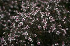 Aster lateriflorus 'Prince' x 1 Plant - FREE P/P WHEN YOU BUY 3+ ITEMS