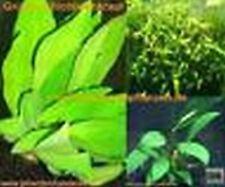 Bundleangebot 3 Topf barschfeste Pflanzen, Anubia etc.