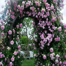 25x Climbing Rose Flower Seeds Garden Plant, Rainbow, Black, Pink, Other Colors