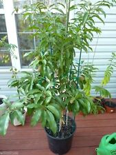 5 Manilkara zapota Tree Seeds,Jamaican Naseberry  SAPODILLA,Grow Indoor/Outdoor