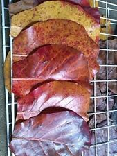 100g Premium INDIAN ALMOND CATAPPA LEAVES -betta,plec Almond leaves Indian Betta