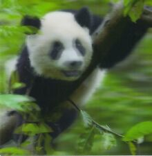 Quadratische Lentikular - 3D -Karte: Großer Panda - Giant Panda