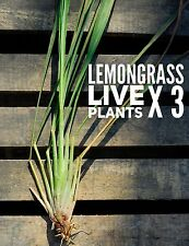 Ship FREE ✿ x3 Organic ROOTED LEMONGRASS Live Plants/ Stalks Repel Mosquitoes