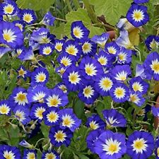 Morning Glory- Ensign Blue- 50 Seeds - 50 % off sale