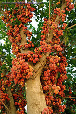 Sycamore Fig  , Ficus sycomorus Fruit Tree seeds (20 Nos) T-042