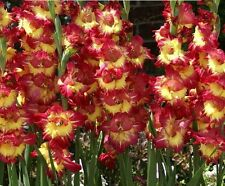 New (10) Perennials Gladioli Bulbs Red & Yellow Fun Time New Flower Ready to Go