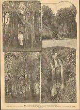 NOUVELLE-CALEDONIE LA VEGETATION TROPICALE ARTICLE PRESSE 1901
