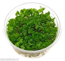 Hydrocotyle Sibthorpioides Tissue Culture Freshwater Live Aquarium Plants