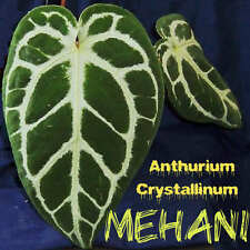 ~MEHANI~ Anthurium Crystallinum Beautiful Velvet Veined Leaf AROID Potd sm PLANT