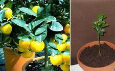 Orangenbaum Pflanze / winterharte Zitrusfrucht blühender Obstbaum für den Garten