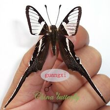 2 unmounted butterfly papilionidae Lamproptera curia GUANGXI A1 A1-
