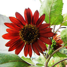 15 Seeds Of Each Pack Beautiful Sunflower Red Fortune Flower Seeds A108 For Gift