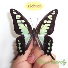 5 unmounted butterfly Graphium cloanthus clymenus A1 A1-