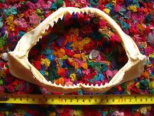 REEF SHARK JAW (22 x 13 cm) Jaws Teeth TAXIDERMY C