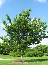 CELTIS OCCIDENTALIS 10 semi seeds Bagolaro occidentale Common hackberry