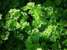 250+ semillas Krause perejil-Petroselinum crispum