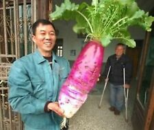 30 giant radish seeds monster large XL big huge veg  very big  very very big