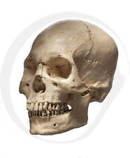 Realistic Human Skull Life Size Replica Halloween Film Prop High Detail