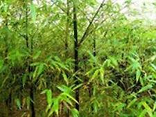 Black Bamboo/Bambou-phyllostachys nigra-hiver rude bambou -20 graines-rare
