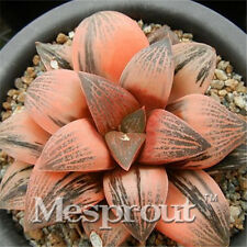 NEW Succulent - Haworthia correcta N.65 - 2015 season