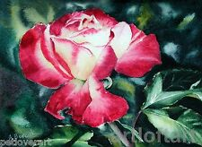 ROSE Double Delight  FLOWER ART Print by A Borcuk